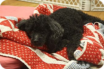 Poodle (Standard) Dog for adoption in Knoxville, Tennessee - Princess