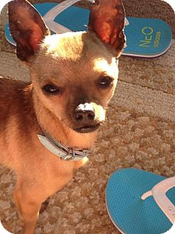 Chihuahua Mix Dog for adoption in Pitt Meadows, British Columbia - Jose