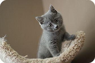 Sapphire | Adopted Kitten | Marietta, GA | Russian Blue