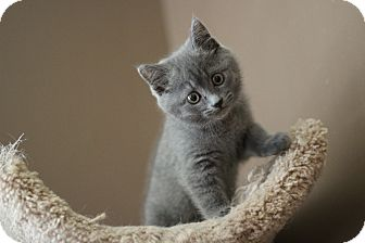grey tabby kitten for sale