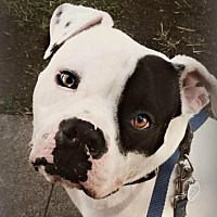 Adopt A Pet :: Petey - San Ramon, CA