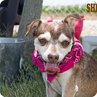 Adopt A Pet :: Shelley - Patterson, CA