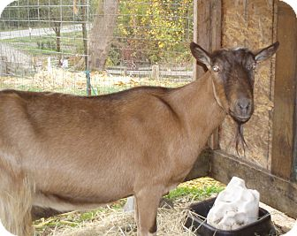 Goat for adoption in Quilcene, Washington - Andy