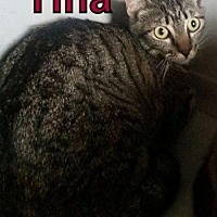Domestic Shorthair Cat for adoption in Lemoore, California - Tina