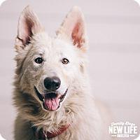 Adopt A Pet :: Puff - Portland, OR