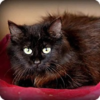Domestic Longhair Cat for adoption in Owenboro, Kentucky - PEPPER!