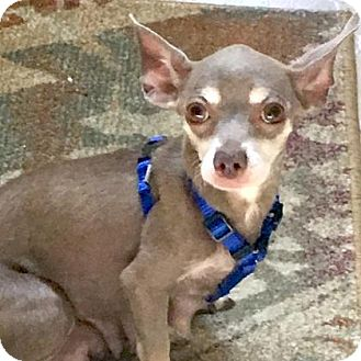 Chihuahua Mix Dog for adoption in Austin, Texas - Aly