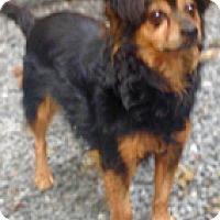 Chihuahua Mix Dog for adoption in Clifton Forge, Virginia - Holly