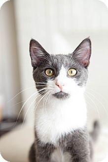 Domestic Shorthair Kitten for adoption in Los Angeles, California - Beckham
