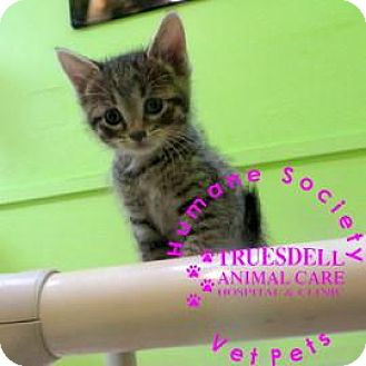 Domestic Shorthair Kitten for adoption in Janesville, Wisconsin - Merlin