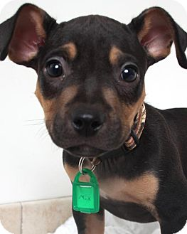 Manchester Terrier Mix Puppy for adoption in Edina, Minnesota - Mick D161596: NO LONGER ACCEPTING APPLICATIONS