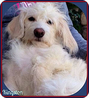 Terrier (Unknown Type, Small)/Maltese Mix Puppy for adoption in Seattle, Washington - Kingston