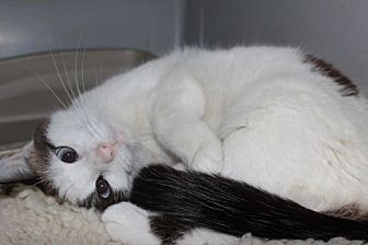 Snowshoe Cat for adoption in Louisville, Kentucky - Lexi