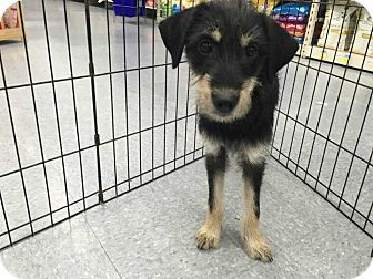 Terrier (Unknown Type, Small) Mix Puppy for adoption in E. Greenwhich, Rhode Island - Dora