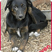 Adopt A Pet :: Raven - Lawrenceburg, TN