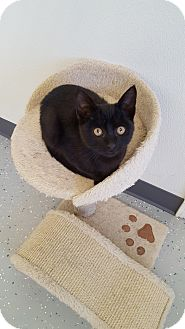 Domestic Shorthair Kitten for adoption in Danville, Indiana - Ariel
