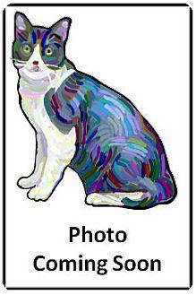 Siamese Cat for adoption in Encinitas, California - Sweet Rose