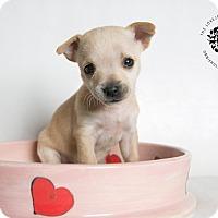 Adopt A Pet :: Scampi - Inglewood, CA