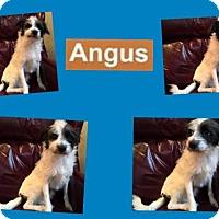 Adopt A Pet :: ANGUS - Plano, TX