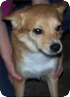 Buddy   Adopted Dog   Humble, TX   Finnish Spitz ...