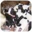 Photo 4 - St. Bernard Puppy for adoption in Chandler, Indiana - Saint pups