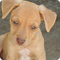 Adopt A Pet :: Swede - La Habra Heights, CA
