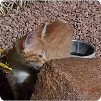 Adopt A Pet :: Strawn (Mr. T) - Gilbert, AZ