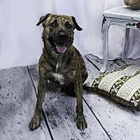Shepherd (Unknown Type)/Boxer Mix Dog for adoption in New York, New York - Tigresa