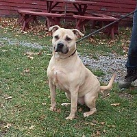 American Staffordshire Terrier Dog for adoption in Cherry Valley, New York - Pumpkin
