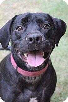 Labrador Retriever Mix Dog for adoption in Iowa Park, Texas - Bagira