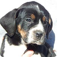 Adopt A Pet :: Patriot (8 lb) - SUSSEX, NJ