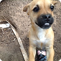 Adopt A Pet :: Chuckles (courtesy listing) - Bartonsville, PA