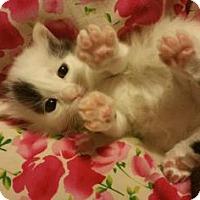 Adopt A Pet :: Parfait - Fort Collins, CO