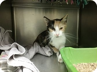 Domestic Shorthair Cat for adoption in Muskegon, Michigan - cynthia