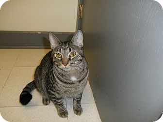 Domestic Shorthair Cat for adoption in Milwaukee, Wisconsin - Reese