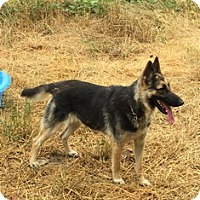 Adopt A Pet :: Pansey - Albany, OR