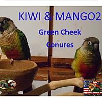 Adopt A Pet :: Kiwi Mango2Green Chek Conures - Vancouver, WA