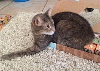 Domestic Shorthair Cat for adoption in Phoenix, Arizona - Maddie The Cuddle Bug