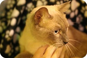 Siamese Cat for adoption in Mackinaw, Illinois - Buddy