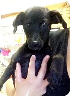 Chihuahua Mix Puppy for adoption in Chico, California - Abner
