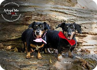 Dachshund Dog for adoption in New Milford, Connecticut - Sasha and Malia