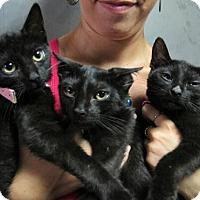 Adopt A Pet :: Lap Cat Kittens! 3 Loving Bombay Mix Girls! - Brooklyn, NY
