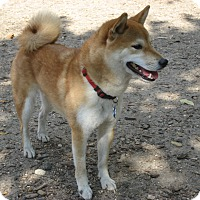Shiba Inu Dog for adoption in Gig Harbor, Washington - Rocco - courtesy listing
