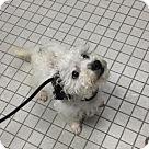 Adopt A Pet :: Munchkin