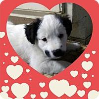 Adopt A Pet :: Valentine Litter: Cutie Pie - Akron, OH