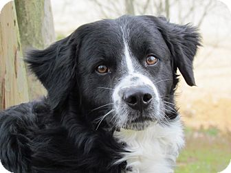 Border Collie/Australian Shepherd Mix Dog for adoption in Humboldt, Tennessee - DAVE
