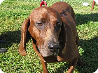 Redbone Coonhound Dog for adoption in Plainfield, Connecticut - Ruby