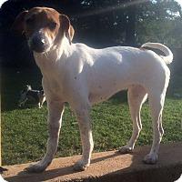 Adopt A Pet :: Polly - North Brunswick, NJ