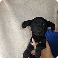Adopt A Pet :: Brandy - Oviedo, FL