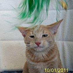 Photo 3 - Domestic Shorthair Cat for adoption in Sacramento, California - Cougar W